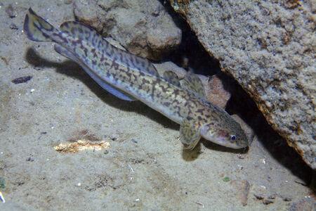 Burbot fish Standard-Bild