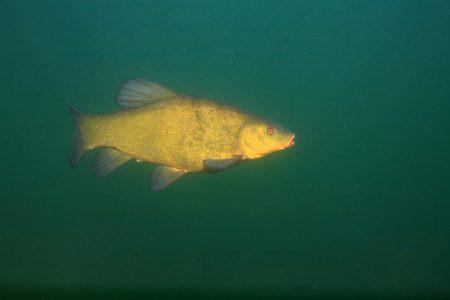 tinca tinca: Tench fish