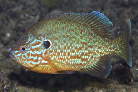 pumpkinseed: Pumpkinseed sunfish Stock Photo