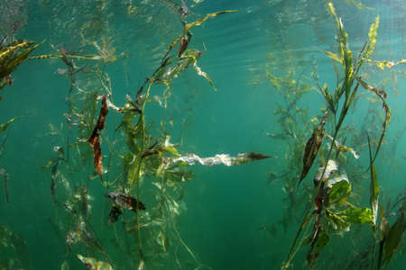 hydrophyte: Water plant in the freshwater lake