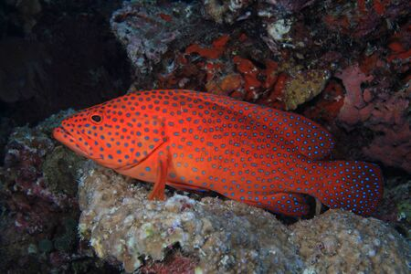 wildlive: Coral hind grouper Stock Photo