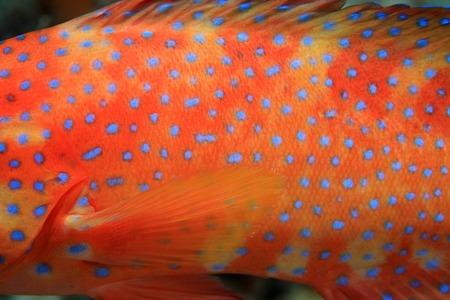 Lichaam van koraal achterste grouper Stockfoto - 37364152