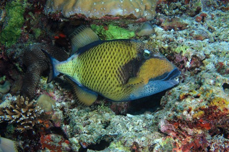 Titan triggerfish photo