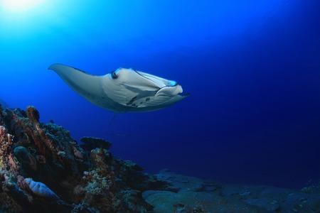 sealive: Manta ray
