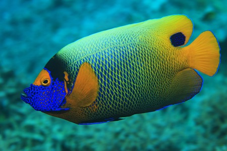 pomacanthus: Blueface angelfish
