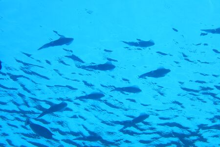 Shool of bigfin reef squids