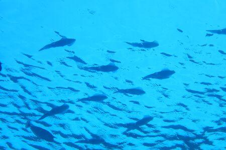 decapods: Shool of bigfin reef squids