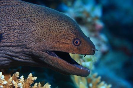 sealive: Giant moray