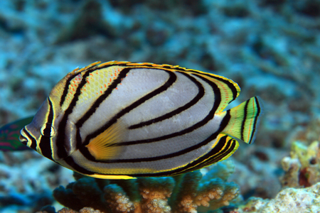 chaetodontidae: Scrawled butterflyfish Stock Photo