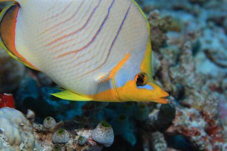 chaetodontidae: Yellowhead butterflyfish