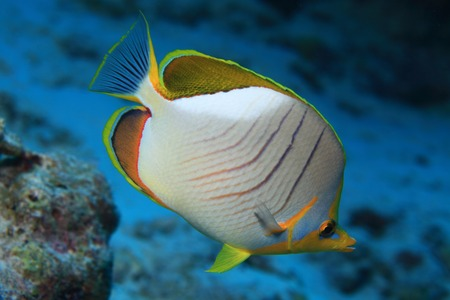 butterflyfish: Yellowhead butterflyfish
