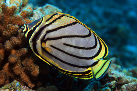 butterflyfish: Scrawled butterflyfish Stock Photo