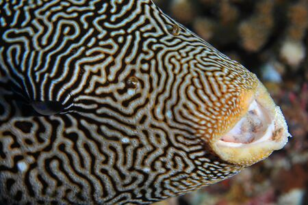 arothron: Close up of Map pufferfish