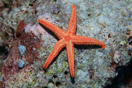 sealive: Noduled Sea Star Stock Photo