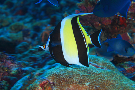 zanclus cornutus: Moorish idol fish