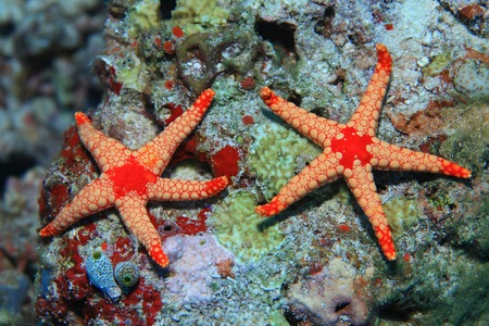 wildlive: Colorful starfish in the tropical coral reef Stock Photo