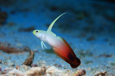 goby: Fire goby fish
