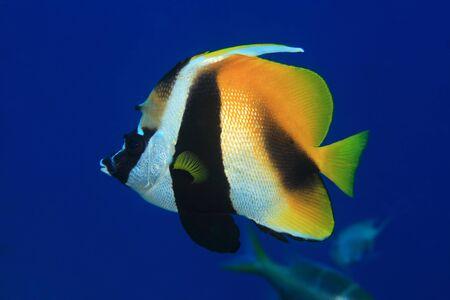 chaetodontidae: Masked bannerfish