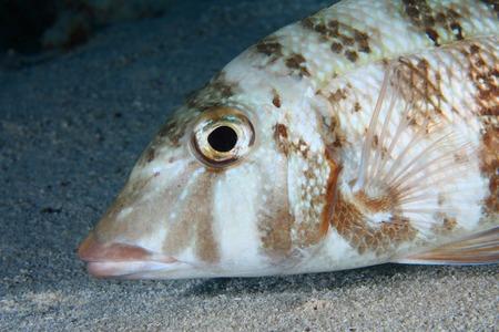 sealive: Orange-striped emperor fish Stock Photo