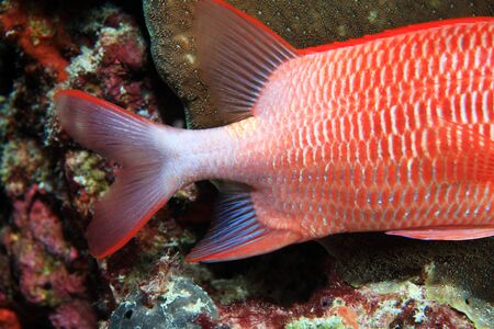 coralfish: Tail of Silver spot squirrelfish Stock Photo