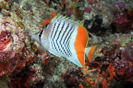 chaetodontidae: Eritrean butterflyfish