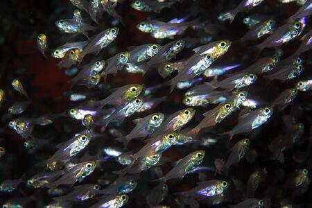 shoal: Pigmy sweeper fish