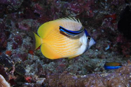 chaetodontidae: Sunburst butterflyfish and cleaner fish