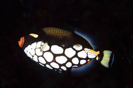 trigger fish: Clown Triggerfish