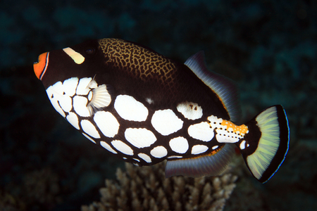 triggerfish: Clown Triggerfish