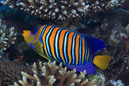 colorful fishes: Regal angelfish