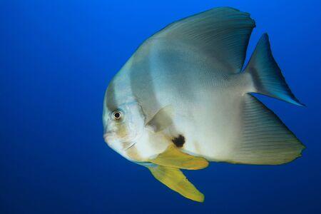 sealive: Longfin Batfish