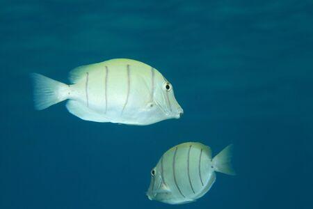 convict: Convict surgeonfish