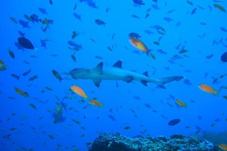 dangerous reef: Whitetip reef shark Stock Photo