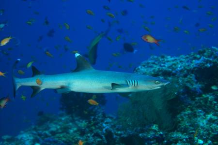 fining: Whitetip reef shark Stock Photo