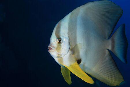 longfin: Longfin Batfish