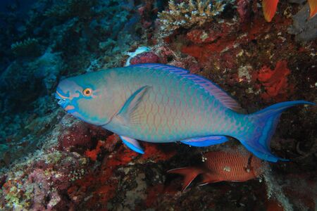 Ember parrotfish Stock Photo