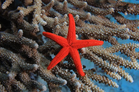 seastar: Colorful starfish in the tropical coral reef Stock Photo