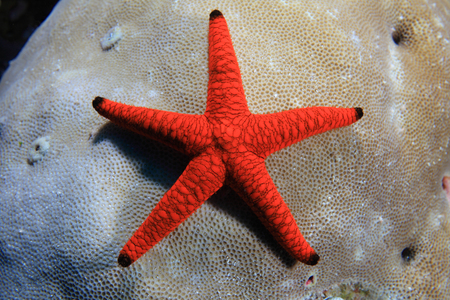wildlive: Indian Sea Star Stock Photo