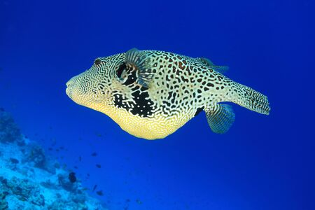 arothron: Map pufferfish