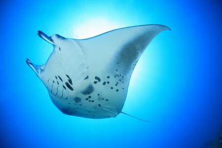 Giant manta ray Archivio Fotografico