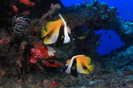 bannerfish: Masked bannerfish