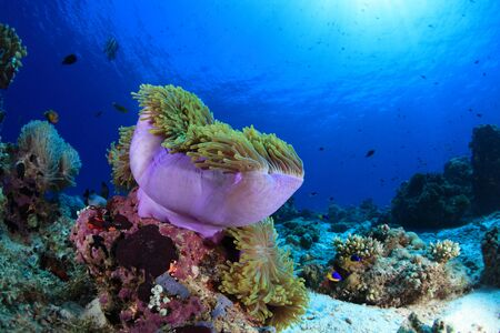 hard coral: Sea anemone in the tropical coral reef