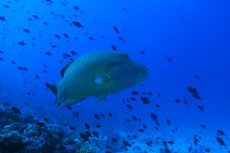 labridae: Humphead wrasse fish Stock Photo