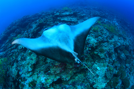 Giant manta ray Stock Photo