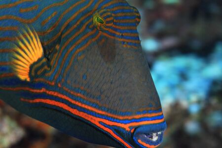 trigger fish: Orange-striped triggerfish