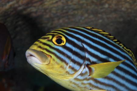 sweetlips: Oriental sweetlips fish