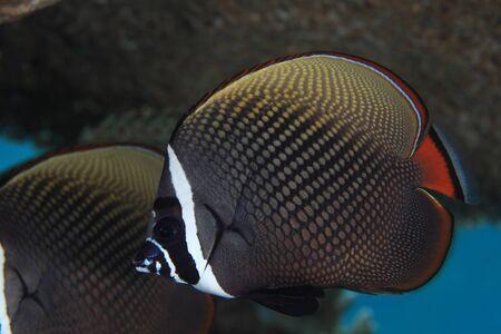 butterflyfish: Redtail butterflyfish