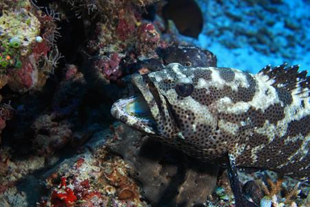 epinephelus: Camouflage grouper fish Stock Photo