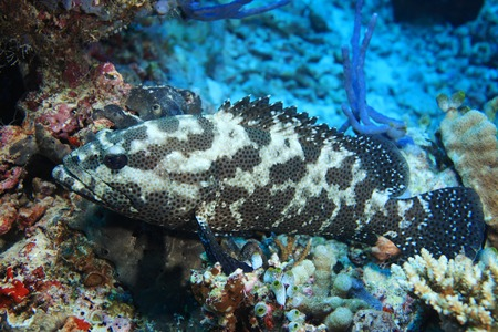 wildlive: Camouflage grouper fish Stock Photo