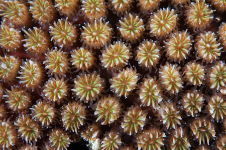stony coral: Close up of stony coral with coral polyps